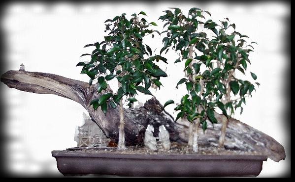ficuswald auf wurzel bonsai einfach selbst gemacht. Black Bedroom Furniture Sets. Home Design Ideas
